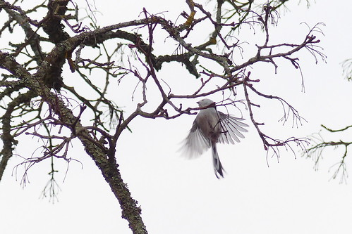 Aegithalos caudatus, long-tailed tit (Velskola manor, Espoo, 20180416) | by RainoL