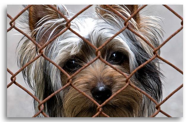 Silky Terrier Puppy