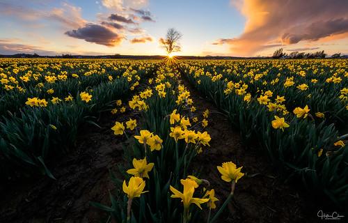 daffodils mountvernon leadinglines washington flowers colorfulsky skagitvalley sunstar sunset spring lonetree landscape unitedstates us