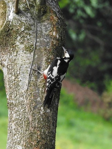 Great Spotted Woodpecker (Dendrocopos major) | by Brian Carruthers-Dublin-Eire