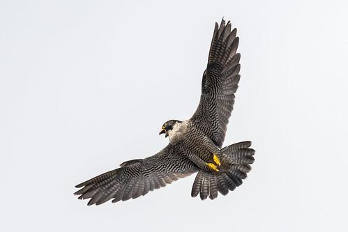 peregrine falcoperegrinus falcon raptor birdofprey wildlife nature spring bird screeching wildandfree female grey yellow black white nikon d500 300mmpf 14xtc eastmill belper derbyshire klythawk
