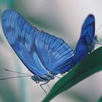 Blue Butterfly Macro
