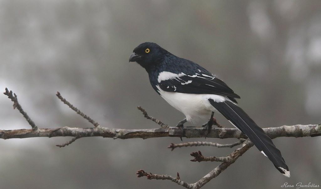 Tietinga | Magpie Tanager (Cissopis leverianus)