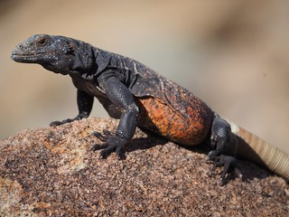 Common Chuckwalla (Sauromalus ater) | by NicholasHess