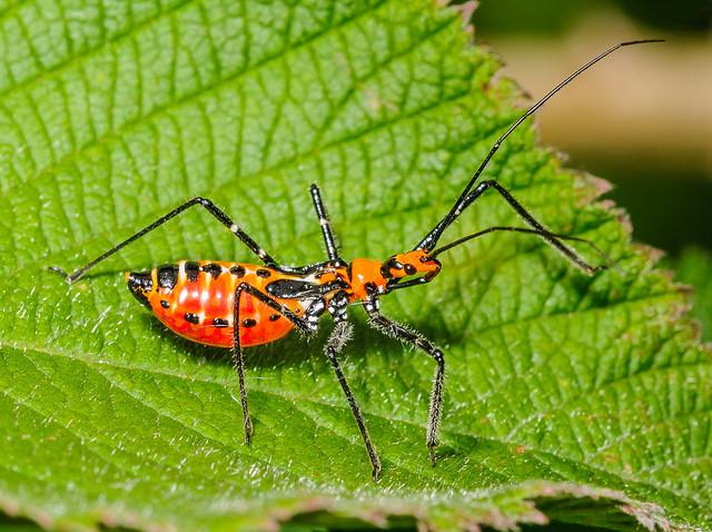 Assassin Bug Nymph (Reduviidae) 108h-0857