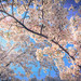 Cherry Blossoms by swingking85