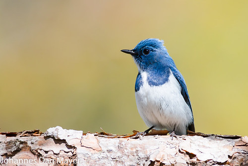 Ultramarine Flycatcher | by Johannes D. Mayer