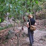 So, 29.03.15 - 15:26 - Kakaobaum mit Früchten