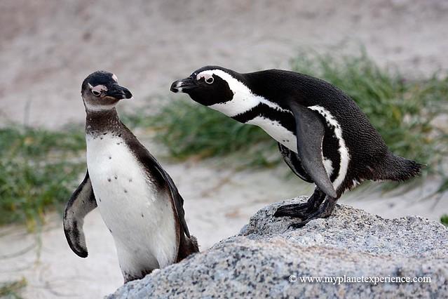 African penguin / spheniscus demersus