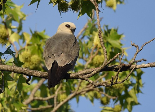 Mississippi Kite #24 | by Wildreturn