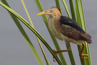 Least Bittern | by Greg Lavaty Photography