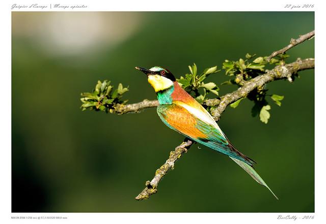 Guêpier d'Europe | Merops apiaster | European Bee-eater