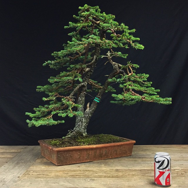 Brilliant Second Wiring Of A Great Old Spruce Bonsai Three Years In Flickr Wiring Digital Resources Funapmognl