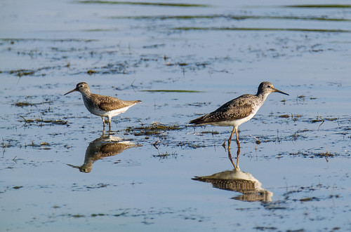 solitarysandpiper lesseryellowlegs tringasolitaria tringaflavipes 1000views onethousandviews