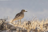 Eurasian Stone-curlew (Burhinus oedicnemus) by Ron Winkler nature