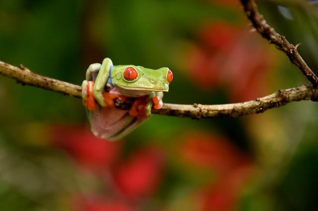 Red-eyed Tree Frog, in a Sarapiqui garden.