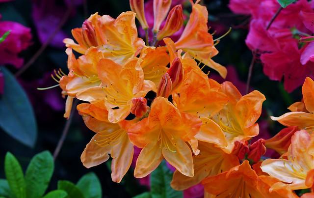 Orange Azalea..........Rhododendron