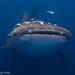 Squalo Balena - Love Bubble Diving - Nosy Be - 7944 by LOVE BUBBLE Social Diving