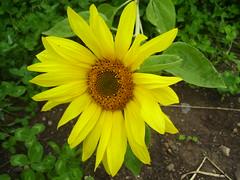 Արևածաղիկ