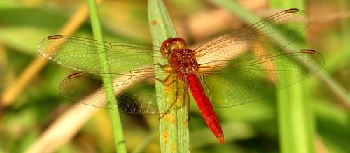 gloucester newsouthwales australia manningvalley odonata scarletpercher diplacodeshaematodes dragonfly