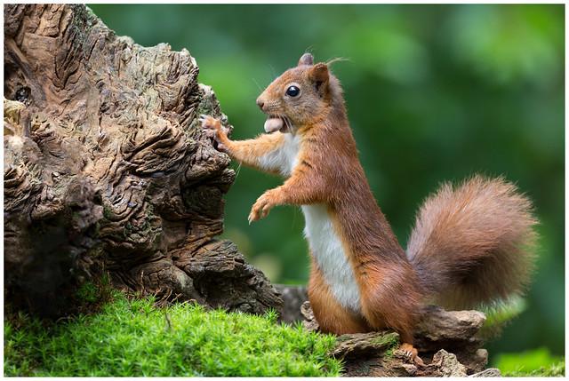 Red Squirrel - Eekhoorn (Sciurus vulgaris) .....