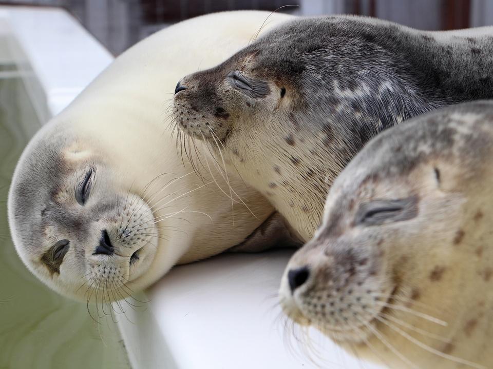 Stellendam A Seal