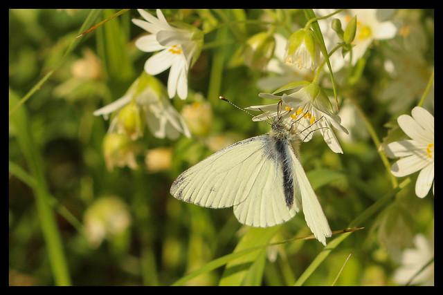 Green-Veined White Butterfly on Stitchwort