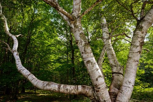 mi trees birch forest landscape nature beaverisland old michigan unitedstates us