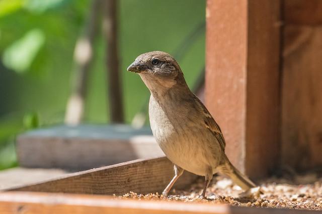 Passero femmina | Passer domesticus | Sparrow.