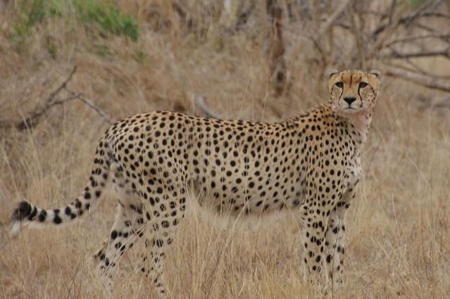 Cheetah - Kruger National Park