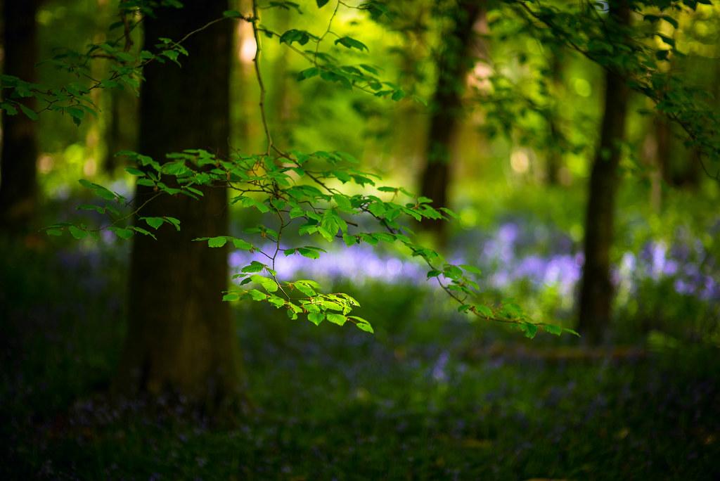 Beech woods, Surrey
