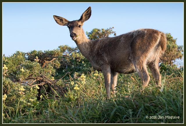 Deer and Lupine 8359