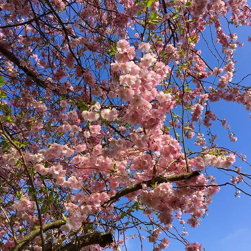 Alexandra Palace cherry blossom 2018   by Fran Pickering
