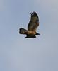 Oriental Honey Buzzard in flight by Wild Chroma
