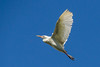 Garza ganadera - Cattle Egret - Bubulcus ibis by Issai Campos