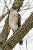 Cooper's Hawk (Accipiter cooperii) by Mark Millsap