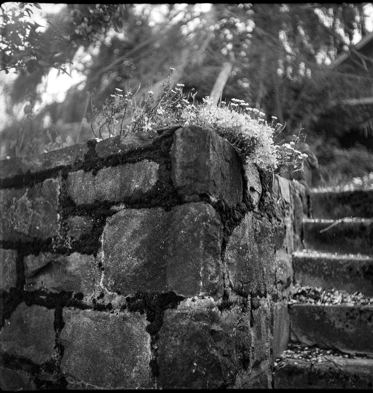 spring flowers, old stone wall, steps, neighborhood, West Asheville, North Carolina, Flektar TLR, Arista.Edu 200, Ilford Ilfosol 3 developer, 4.6.18