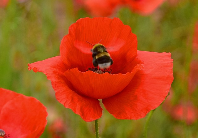 Poppies & a busy Bee. crop. 01 06 2018