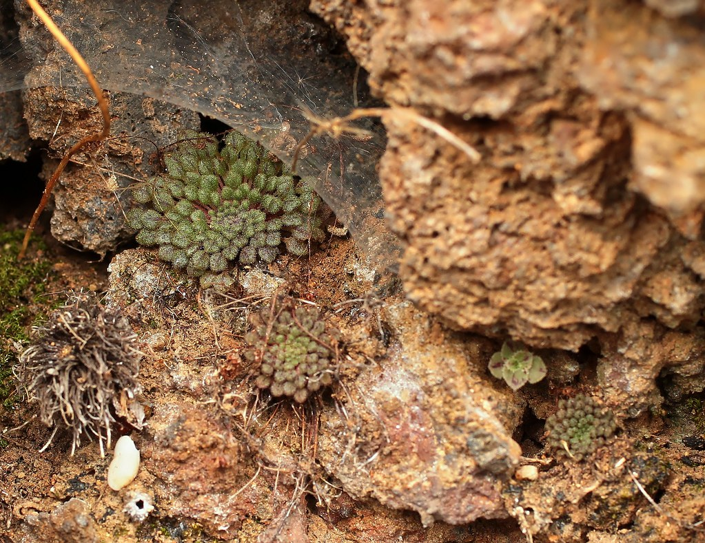Monanthes minima ssp. adenoscepes (2)