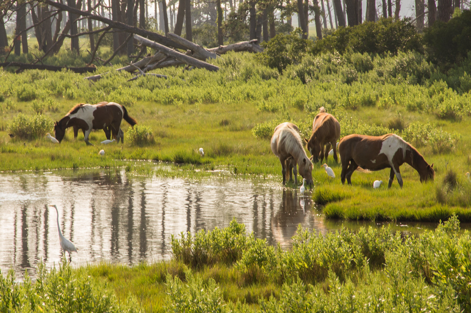 Chincoteague Pony - Horse Scanner