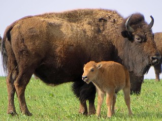 Bison with calf at Neal Smith National Wildlife Refuge | by U.S. Fish and Wildlife Service - Midwest Region