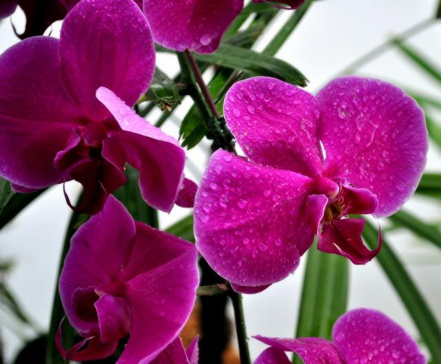 La orquídea