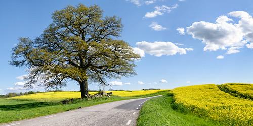 road sky panorama tree yellow clouds skåne spring oak europe sweden perfectday raps canola rapeseed 2015 ptgui olstorp