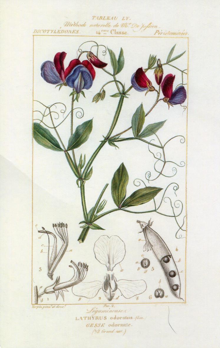 A sweet pea, Lathyrus odoratus