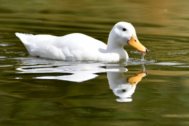 Little white duck.