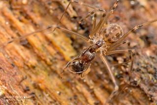 Daddy-long-legs spider (Holocneminus multiguttatus) - DSC_7195