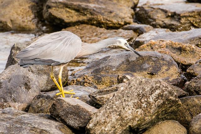 White-faced Heron Hunting 710_2555.jpg