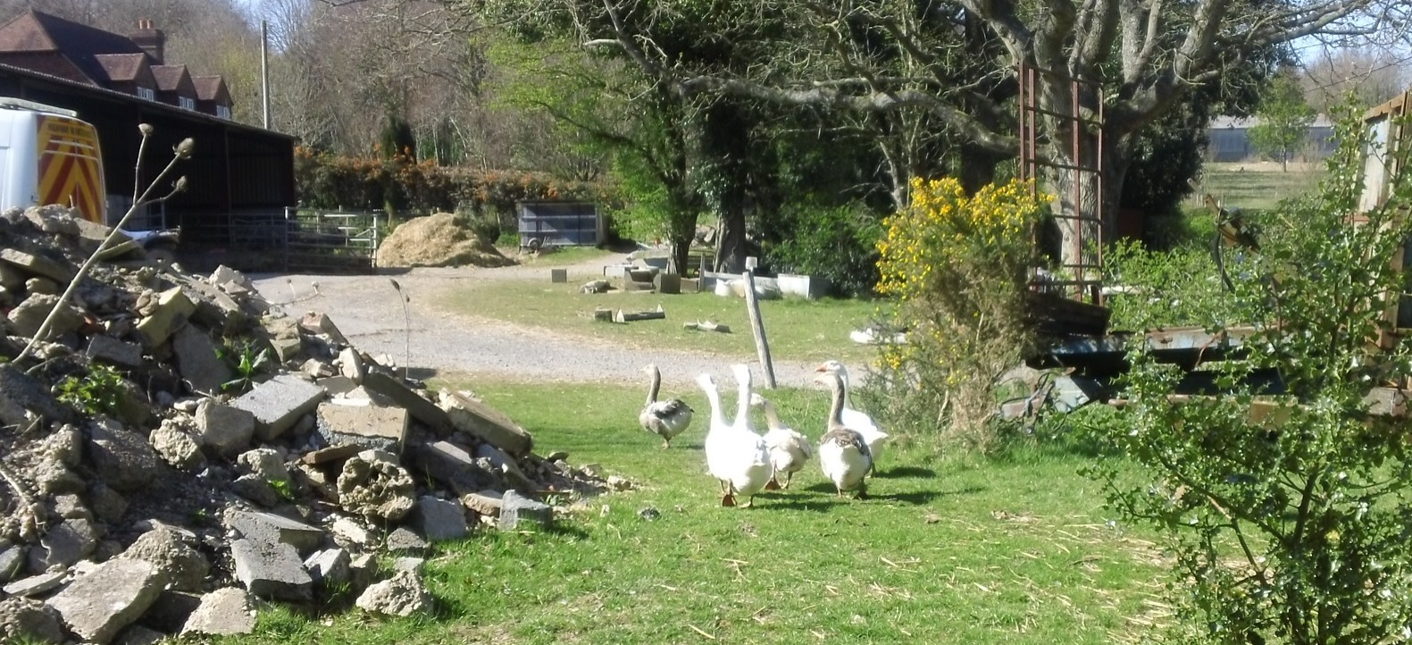 Fleeing geese At a farm near Seddlescombe, Sussex