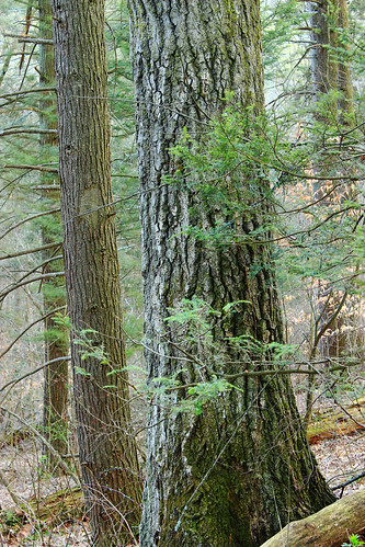 trees nature forest moss spring oak hiking pennsylvania bark creativecommons trunk ravine deciduous slope coniferous hemlocks oldgrowthforest understory columbiacounty northernredoak quercusrubra tsugacanadensis easternhemlocks weiserstateforest relictforest jakeyhollownaturalarea