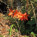 Mi, 01.04.15 - 16:24 - Hier wachsen Amarillis in der Wildnis